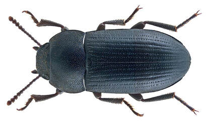 Picture of a beetle in Cairns